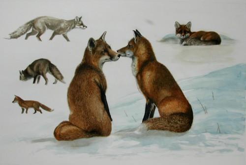 Philippe Tatre, etude de renards