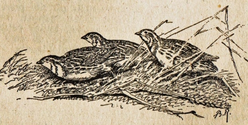 Riab, groupe de cailles