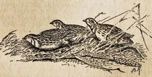 Riab,groupe de cailles