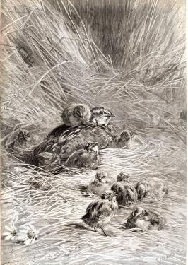 Le nid de caille, par M.Giacomelli