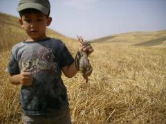 Chasse en algérie: première caille