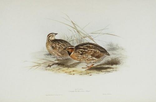 John Gould, birds of Europe, the quail