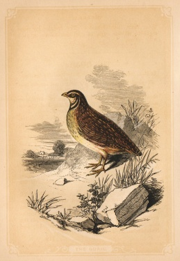 gravure tiree de The Natural History of the Sacred Scriptures and Guide to General Zoology