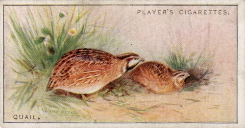 chromo série game birds and wild fowl, john players and sons