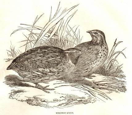 gravure de john gould publiee dans the illustrated london news