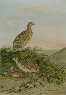 Johann Friedrich Naumann classic Naturgeschichte der Vögel Mitteleuropas 2eme édition publie par Ger