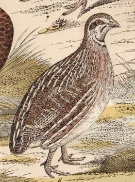 détail gravure caille hanselmann