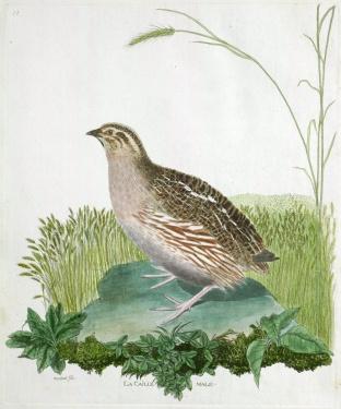 caille, histoire des oiseaux