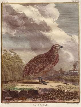 la caille buffon, 1771