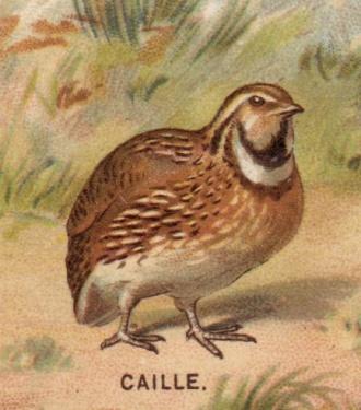 caille beauregard