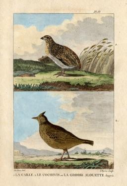 buffon 1822