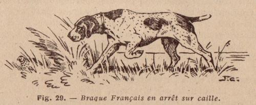 braque français en arrêt sur cailles