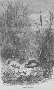 famille de cailles