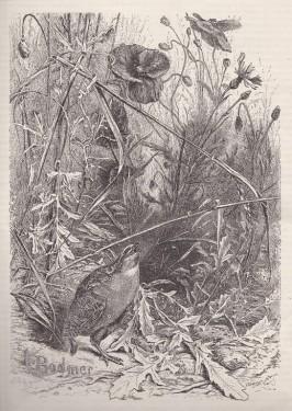 gravure bodmer caille